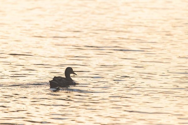 Duck on golden pond S