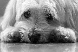 Resting Maltese Puppy