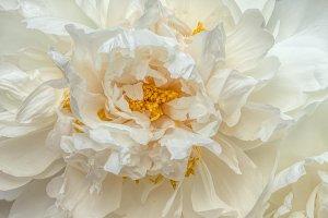 White peony bloom M