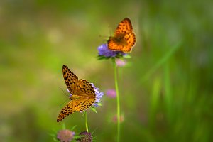 Butterflies playing on flowers