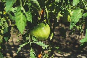 Green unripe tomato on branch