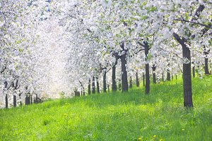 Blooming apple orchard