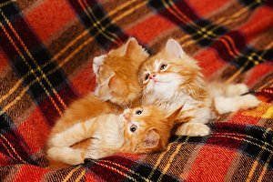 Three kittens hide in folds of plaid