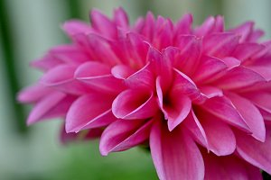 dahlia, pink and white