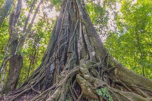 banyan Tree in deep forest