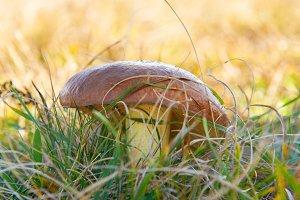 Mushroon suillus in the green grass