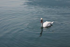 White Swan bird animal