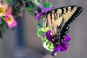 Noshing Butterfly