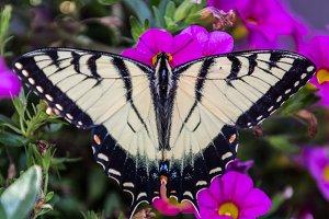 Butterfly Splendor