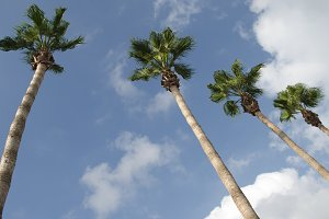 Palm Tree Row against blue sky