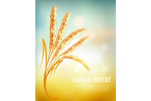 Ears of wheat background.