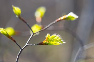 Young leaves in springtime