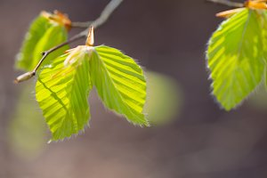 Young leaves in spring