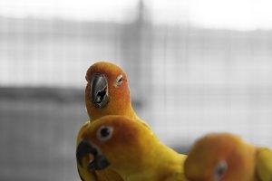 Lovely sun conure parrot birds
