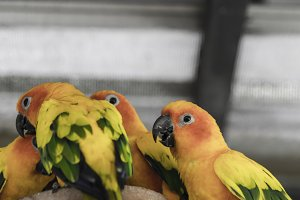 Lovely Sun conure Birds