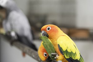 Lovely Sun Conure