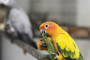 Lovely Sunconure Parrot Birds