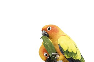 Lovely sun conure Parrot Birds