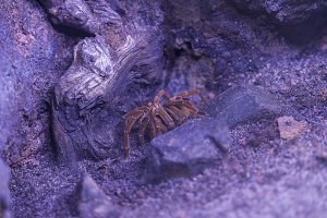 tarantula resting