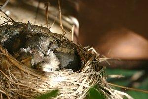 VIDEO.Thrush chicks in the nest
