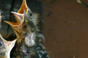 VIDEO UHD.Thrush chicks in the nest.