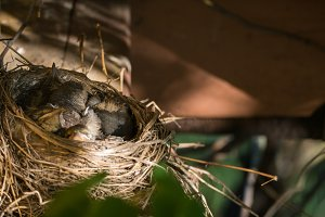 Nest with chicks blackbird