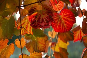 Bright colour on vines in fall