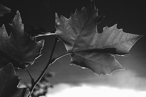 maple in black and white