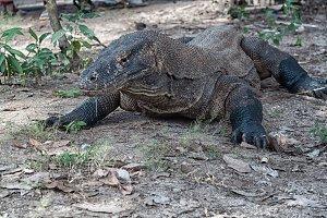 Komodo Dragon I