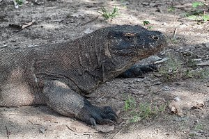 Komodo Dragon - The big one