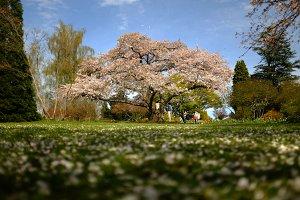 Giant Cherry Blossom Tree