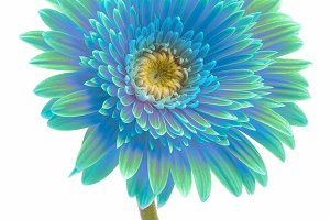 blue gerbera flower