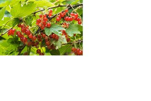 Red currants on the bush