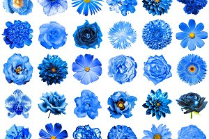 30 blue flowers isolated on white