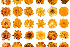 30 orange flowers isolated on white