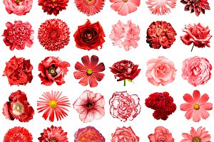 30 red flowers isolated on white