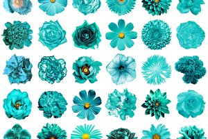 30 cyan flowers isolated on white