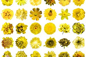 30 yellow flowers isolated on white