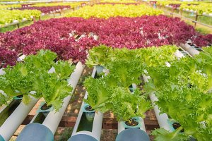 Organic hydroponic vegetable in farm