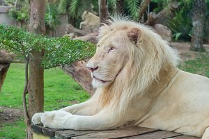 Portrait of male African white lion