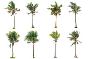 eight coconut tree isolated