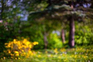 Shrub yellow flowers.Blurry