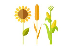 Sunflower, wheat, corn