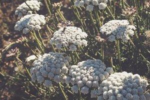 White Summer Wildflowers
