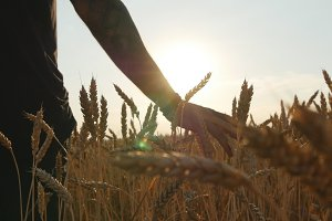 Male hand moving over wheat growing on the field. Field of ripe grain and man's hand touching wheat in summer field. Man walking through wheat field, touching wheat spikes at sunset