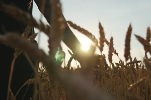 Male hand moving over wheat growing on the field. Young man running through wheat field, rear view. Man walking through wheat field, touching wheat spikes at sunset