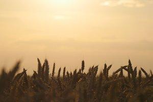 Golden wheat in summer