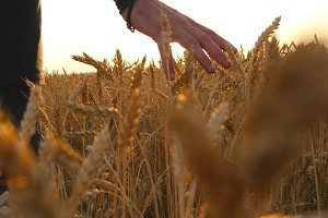 Male hand moving over wheat growing on the field. Young man running through wheat field, rear view. Field of ripe grain and man's hand touching wheat in summer field at sunset