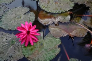 pink flower in water with leaves