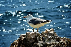 Seagull on Crag